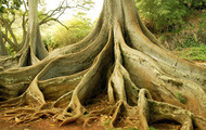 <p>Ancient Southeast Asian tree trunks.</p>