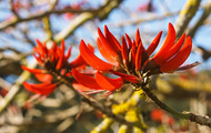 <p>Coral tree flowers.</p>