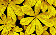 <p>Golden leaves.</p>